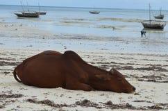 在海滩的母牛在桑给巴尔岛 库存照片
