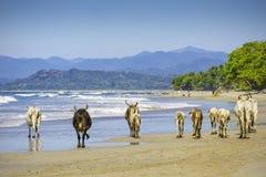 在海滩的母牛 库存照片