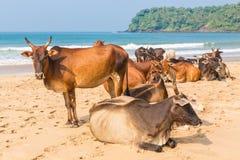 在海滩的母牛 库存图片