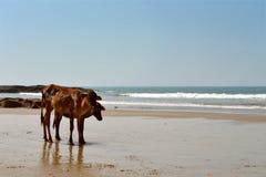 在海滩的母牛 免版税库存照片