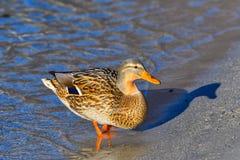 在海滩的母野鸭 库存照片