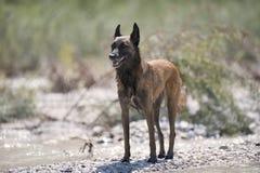 在海滩的比利时护羊狗在夏时 免版税库存图片