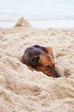 在海滩的泰国狗睡眠 库存照片
