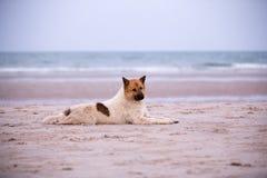 在海滩的流浪狗 库存照片