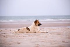在海滩的流浪狗 库存图片