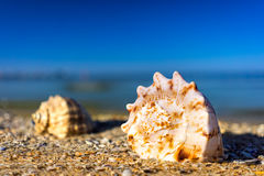 在海滩的海壳 免版税库存图片