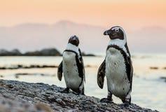 在海洋的海岸的非洲企鹅日落的 图库摄影