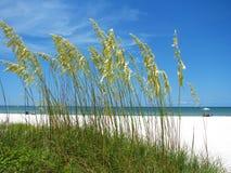 在海滩的海燕麦 免版税图库摄影