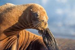 在海滩的海狮在巴塔哥尼亚 免版税库存图片