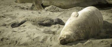 在海滩的海狮幼崽 免版税库存图片