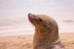 在海滩的海狮戏剧沙子 免版税库存图片