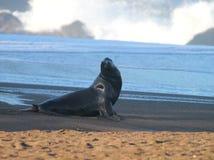 在海滩的海狮 免版税库存照片