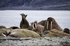 在海滩的海象 免版税库存照片