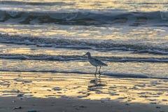 在海滩的海鸥在日出 免版税库存图片