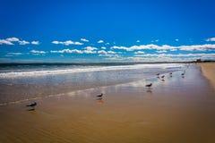 在海滩的海鸥在老果树园靠岸,缅因 库存照片