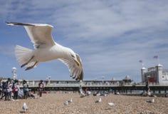 在海滩的海鸥-飞行在小卵石 库存图片