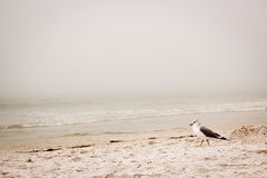 在海滩的海鸥 图库摄影