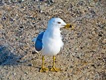 在海滩的海鸥 库存照片