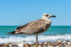 在海滩的海鸥 免版税库存图片