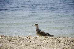 在海滩的海鸥 库存图片