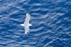 在海洋的海鸥 库存图片
