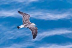 在海洋的海鸥 库存照片