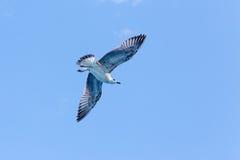 在海洋的海鸥 免版税图库摄影
