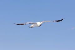 在海洋的海鸥 图库摄影