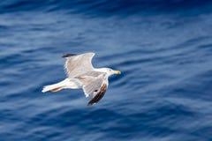 在海洋的海鸥 免版税库存图片