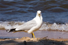 在海滩的海鸥 免版税库存照片