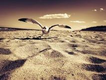 在海滩的海鸥 免版税图库摄影