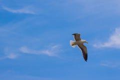 在海滩的海鸥 Gaivota 免版税库存图片