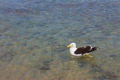 在海滩的海鸥 Gaivota 库存照片