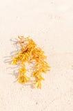 在海滩的海藻 库存图片