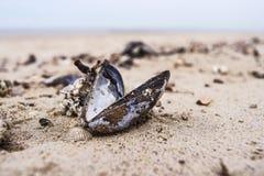 在海滩的淡菜 库存照片
