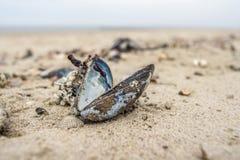 在海滩的淡菜 库存图片