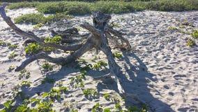 在海滩的漂泊木头 免版税库存图片