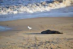 在海滩的灰色封印与海鸥 库存图片