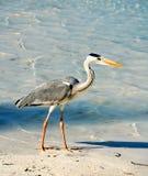 在海滩的灰色苍鹭在马尔代夫 库存图片