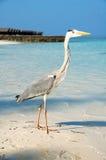 在海滩的灰色苍鹭在马尔代夫 免版税库存图片