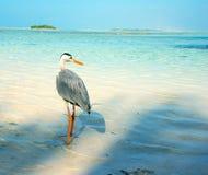 在海滩的灰色苍鹭在马尔代夫 图库摄影