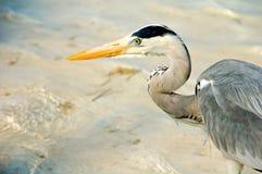 在海滩的灰色苍鹭在马尔代夫 库存照片