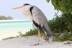在海滩的灰色苍鹭,马尔代夫 免版税库存照片