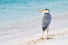 在海滩的灰色苍鹭,马尔代夫 库存图片