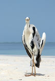 在海滩的灰色苍鹭 免版税库存图片