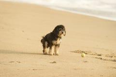 在海滩的狗与球 免版税库存照片