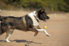 在海滩的狗奔跑 免版税库存照片
