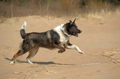 在海滩的狗奔跑 免版税库存图片
