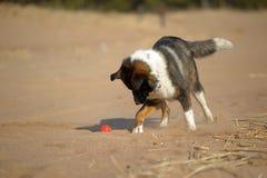 在海滩的狗奔跑 图库摄影
