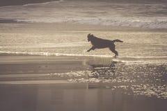 在海滩的狗旅行愉快的奔跑 免版税库存图片